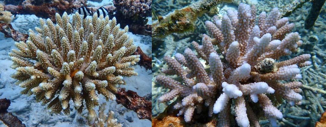 Reefscapers healthy Acropora corals Maldives