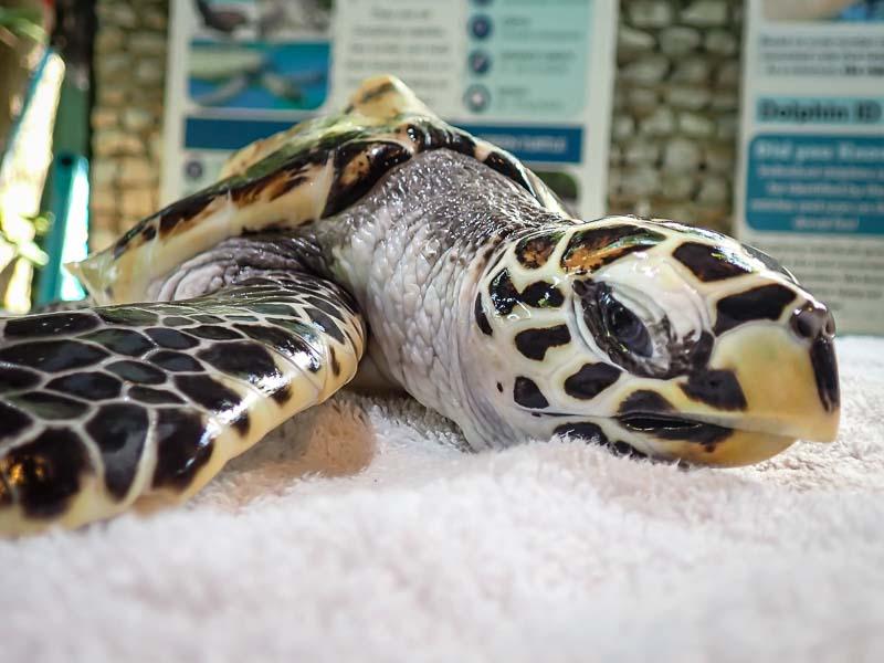 Rescued hawksbill turtle Maldives TOBY