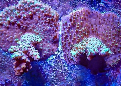 Reefscapers coral plate KH01 Acropora millepora