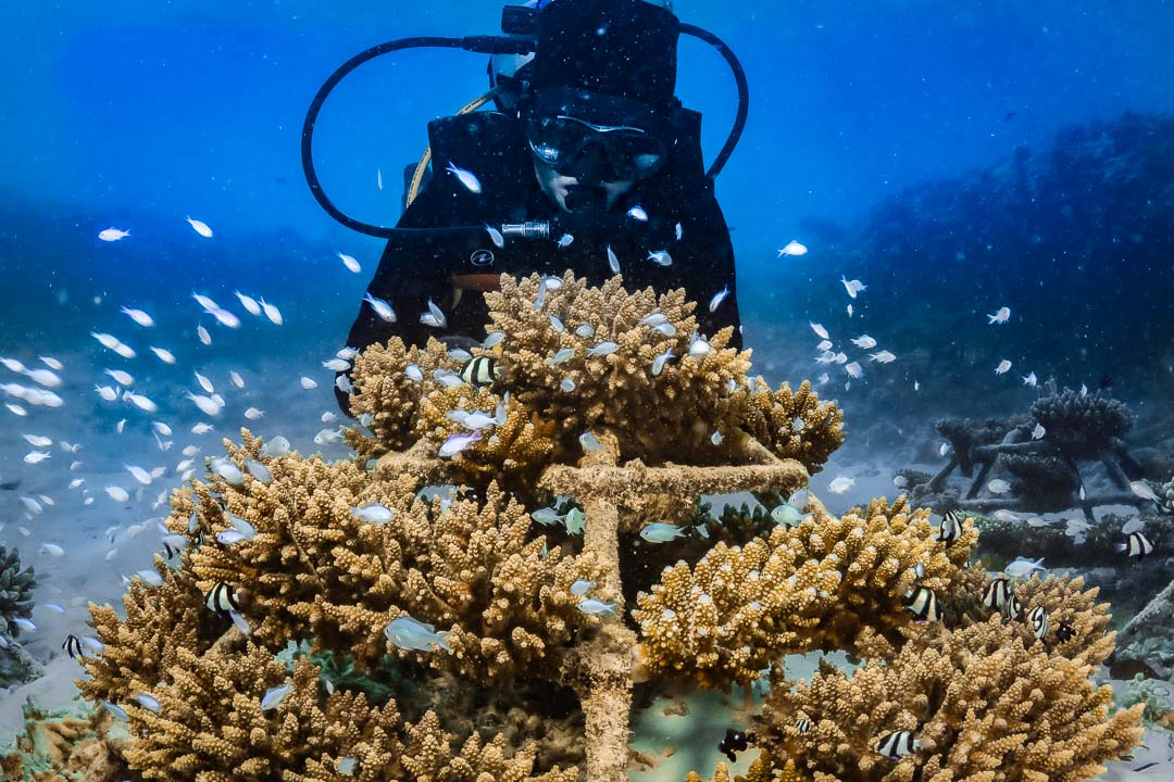 Reefscapers growing coral reef restoration Maldives