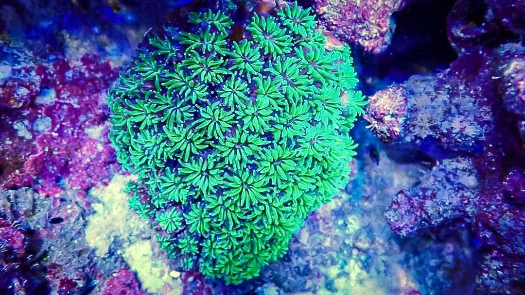 Aquarium coral specimen Galaxea