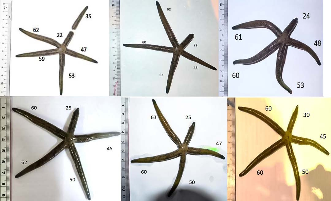 Aquarium sea star growth SS3 May to Oct