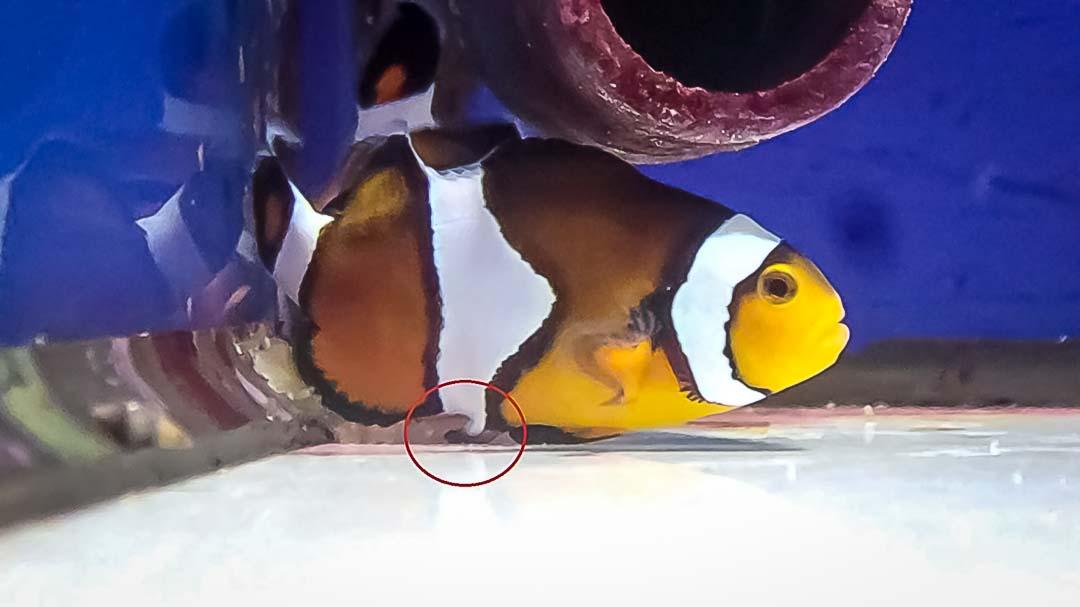 Amphiprion ocellaris laying eggs - Fish lab Maldives