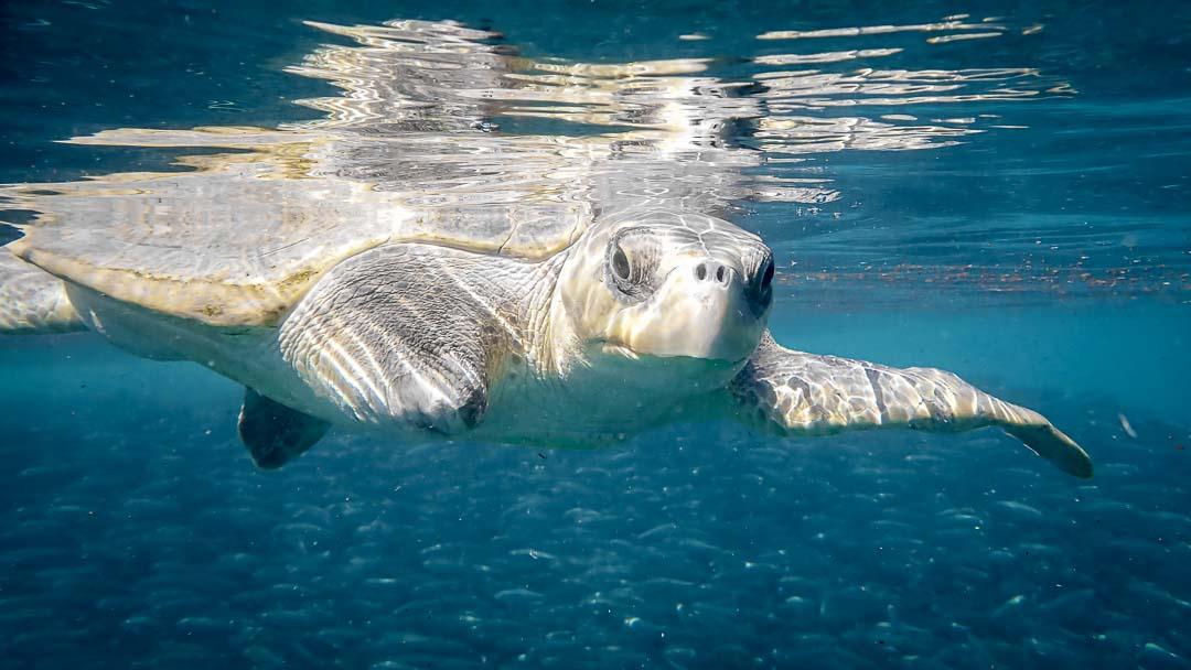 Sea turtle rehabilitation VARU (10) ocean swim