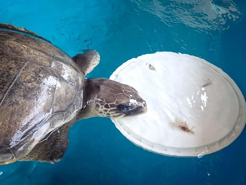 Sea turtle rehabilitation enrichment toys APRIL