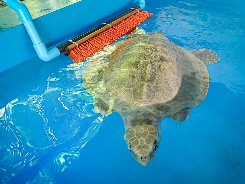 Sea turtle rehabilitation enrichment toys FRISBEE