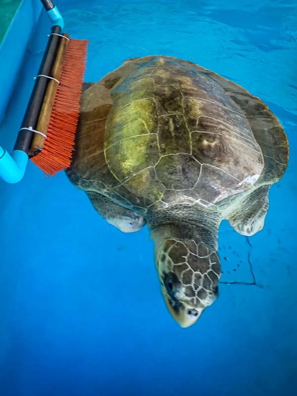 Sea turtle rehabilitation enrichment toys THAKU