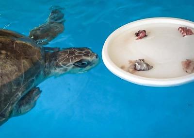 Sea turtle rehabilitation enrichment toys VARU