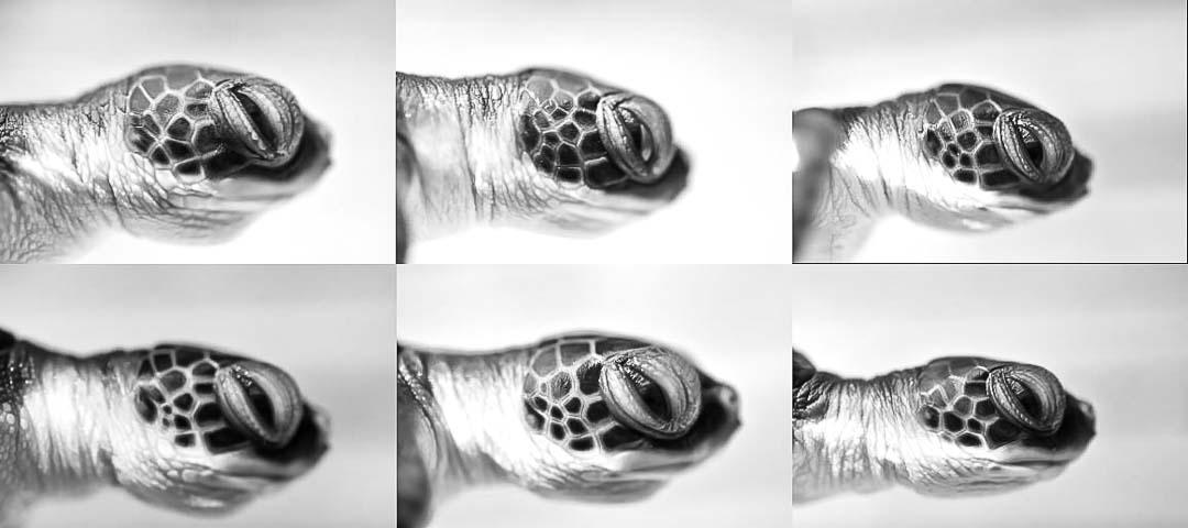 Turtle hatchling rescue Maldives
