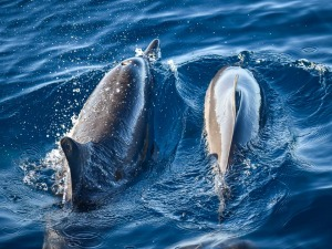 Dolphins at Kuda Huraa Maldives