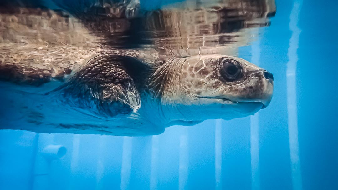LORETTA Olive Ridley stranded Maldives turtle rescue centre