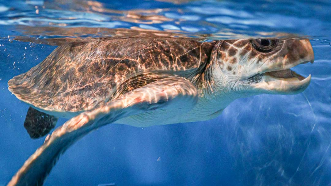 Maw rescue sea turtle Marine Savers Maldives