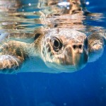Maw rescue sea turtle Marine Savers Maldives