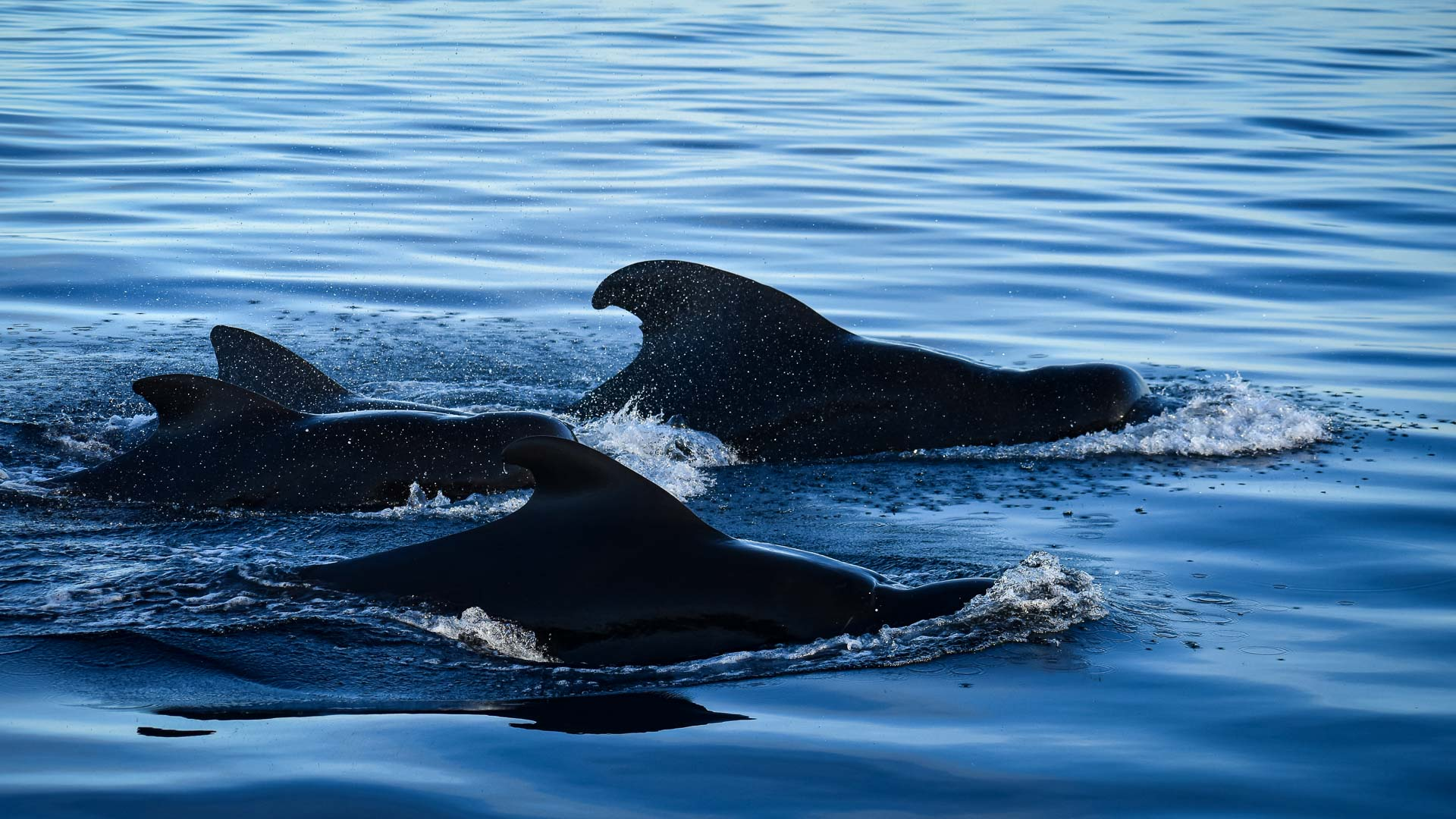 Pilot whales at Kuda Huraa Maldives