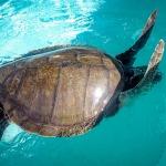 THARI Olive Ridley stranded Maldives turtle rescue centre