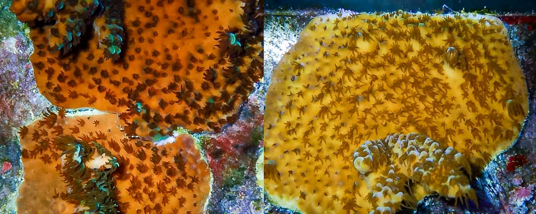 Reefscapers coral plate (KH01) A.milepora fusing (left) and encrusting (right)