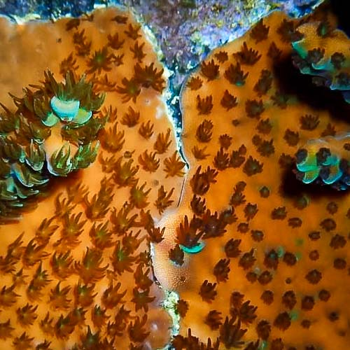 Reefscapers coral plate KH01 Acropora millepora fusing