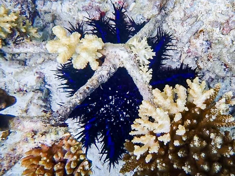 Reefscapers crown of thorns starfish