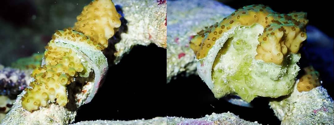 Reefscapers healthy coral fragments encrusting