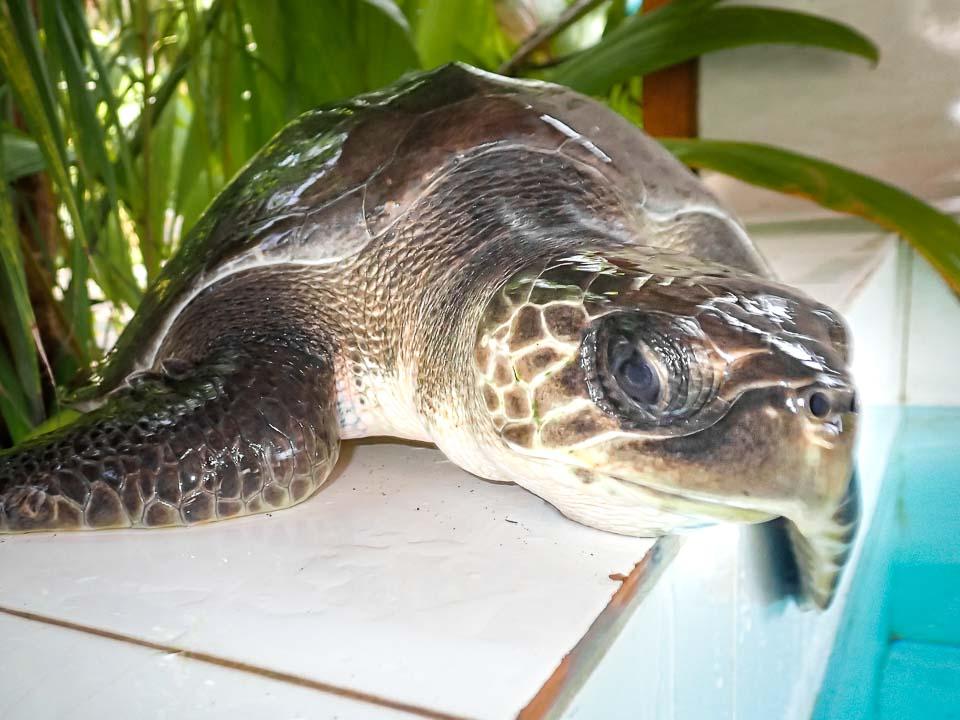 AMIE Olive Ridley stranded Maldives turtle rescue centre