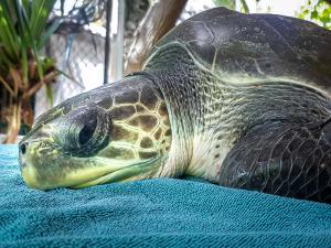Maracuja Olive Ridley stranded Maldives turtle rescue centre (Maracuja)