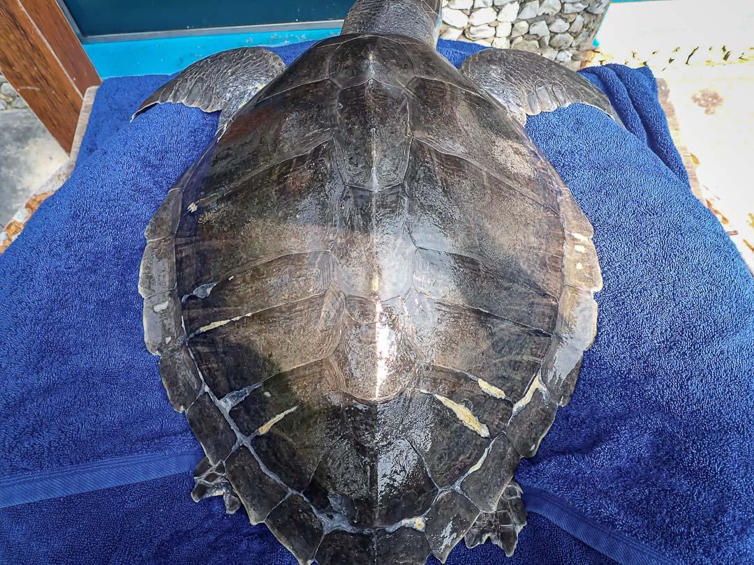 Rocky rescue turtle rehabilitation centre Maldives
