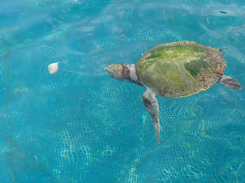 Sea turtle (Varu) rehabilitation enclosure Maldives Marine Savers