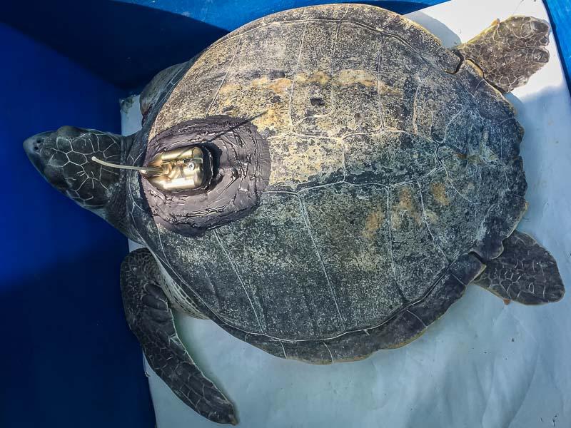 Varu sea turtle satellite tracking Maldives