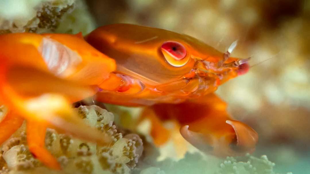 Coral crab Marine Savers Maldives