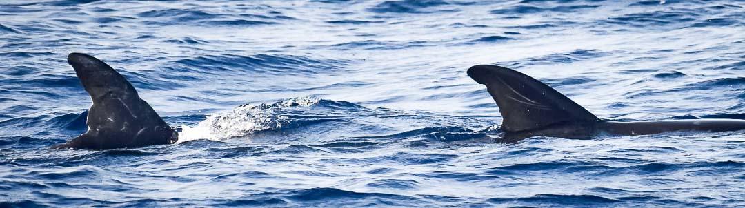 Dolphin ID Maldives Risso's