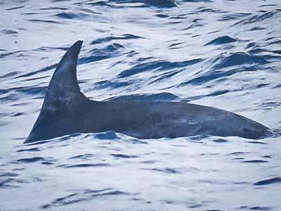 Dolphin ID - Risso's dolphin fin
