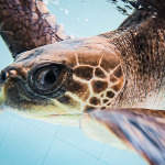Luna-3 stranded Olive Ridley turtle Maldives ghost nets