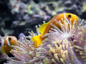 Marine aquarium Maldives [DSC_1551 (2)] Maldivian clownfish Amphiprion nigripes