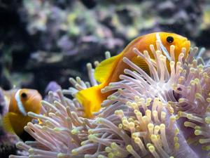 Marine aquarium Maldives [DSC_1551 (2)] Maldivian clownfish Amphiprion nigripes