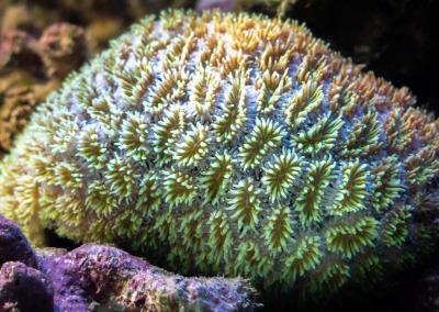 Marine aquarium Maldives Galaxea species stony coral
