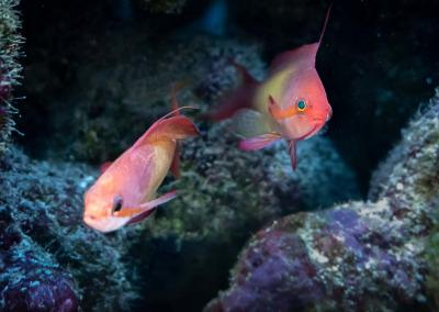 Marine aquarium Maldives Orange basslet Pseudoanthias squamipinnis