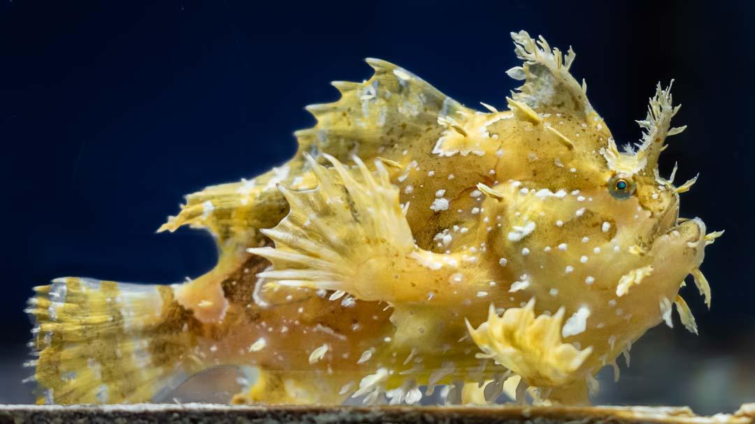 Marine aquarium Maldives Sargassum frogfish Histrio histrio