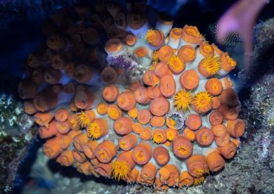 Marine aquarium Maldives Sun coral Tubastrea