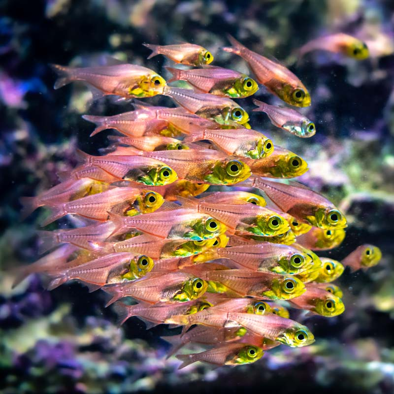 Marine aquarium Yellow Sweepers (Parapriacanthus ransonneti)