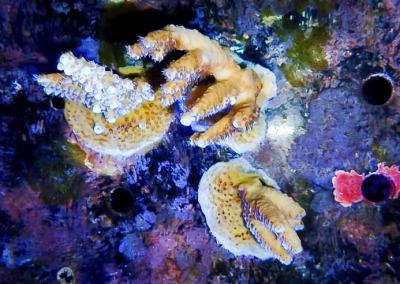 Reefscapers KH03 coral encrusting
