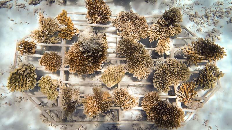 Reefscapers coral rescue Maldives Gulhi Falhu