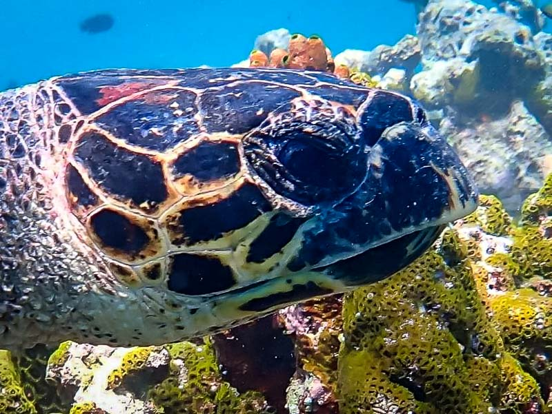 Turtle ID Maldives photo submissions Hawksbill male