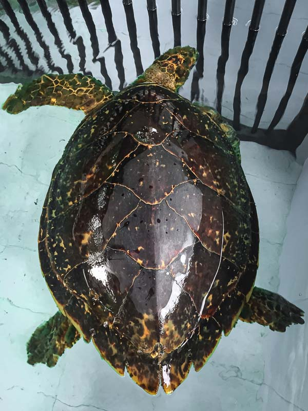 Artemis stranded Hawksbill turtle rescue Maldives