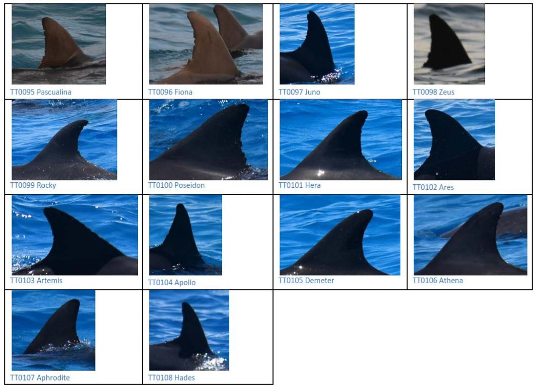 Bottlenose dolphins photographed as part of our Dolphin identification project Maldives
