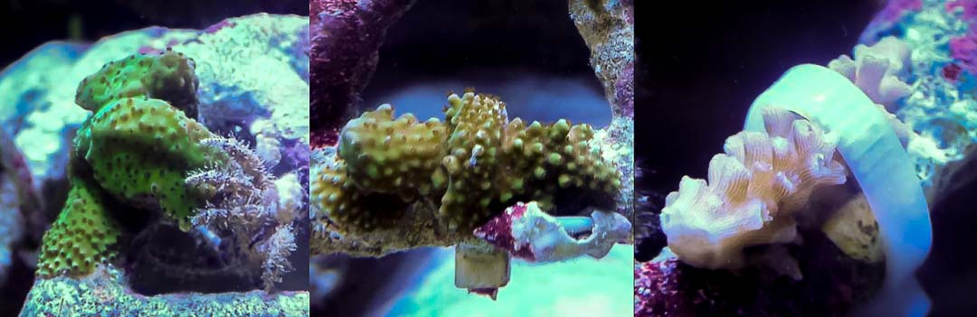 Reefscapers coral fragments new (right) and encrusted (left)