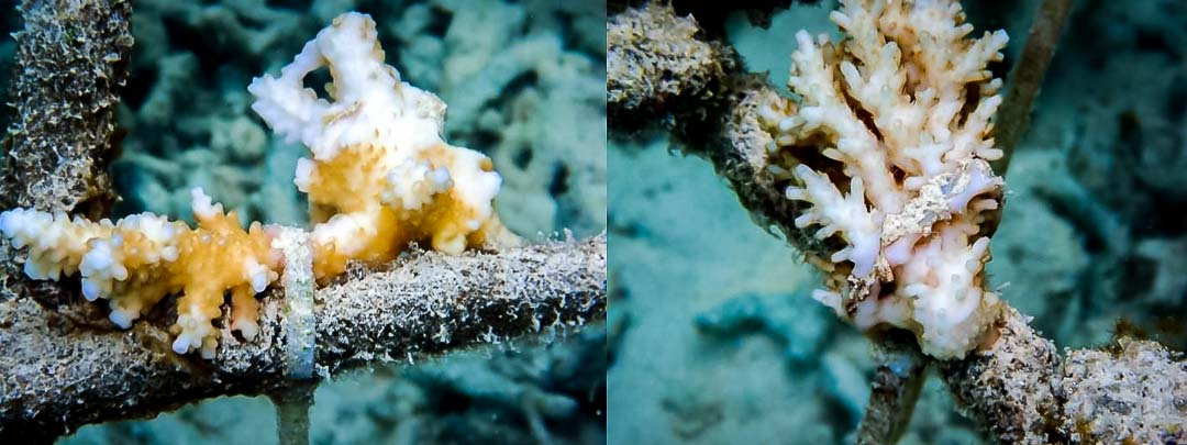 Reefscapers coral fragments recovering from bleaching and starting to encrust