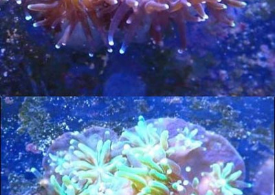 Reefscapers coral plate KH06 Galaxea