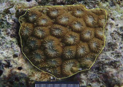 Reefscapers micro-fragmenting corals growth Maldives