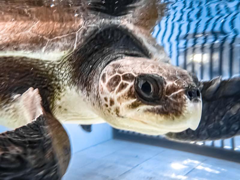 Oevaali sea turtle entanglement Maldives