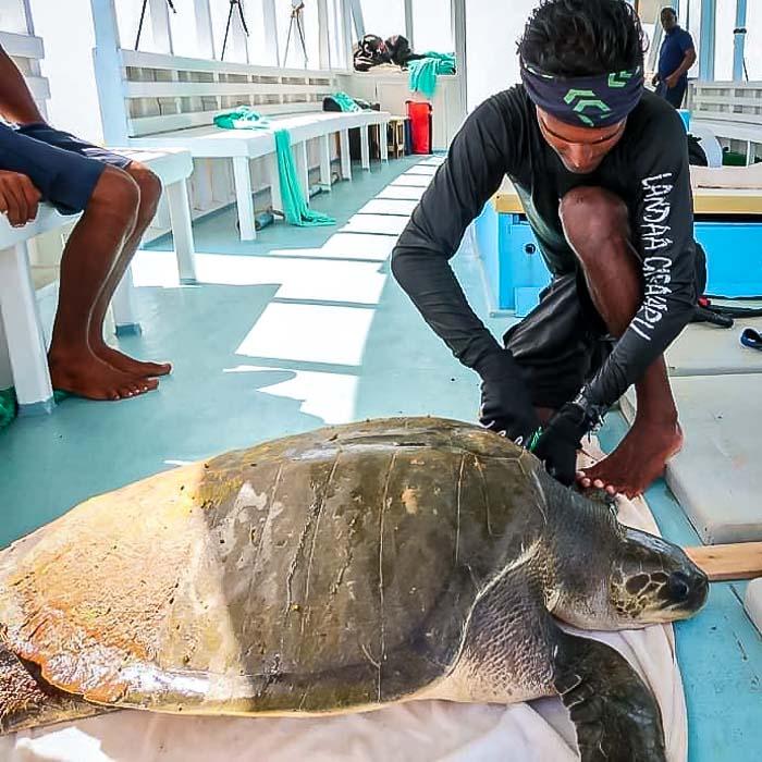 Oevaali sea turtle rescue Maldives © Manta Trust
